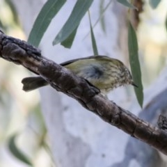 Acanthiza lineata (Striated Thornbill) at ANBG - 20 May 2019 by Alison Milton