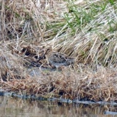 Gallinago hardwickii (Latham's Snipe) at Jerrabomberra Wetlands - 6 Sep 2019 by RodDeb