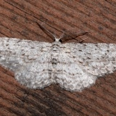 Phelotis cognata (Long-fringed Bark Moth) at Rosedale, NSW - 31 Aug 2019 by jbromilow50