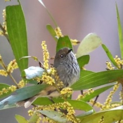 Acanthiza pusilla (Brown Thornbill) at Broulee, NSW - 31 Aug 2019 by jbromilow50