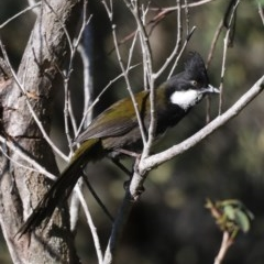 Psophodes olivaceus (Eastern Whipbird) at Guerilla Bay, NSW - 31 Aug 2019 by jbromilow50