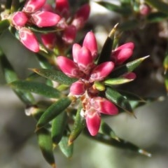Lissanthe strigosa subsp. subulata (Peach Heath) at Stony Creek Nature Reserve - 7 Sep 2019 by KumikoCallaway