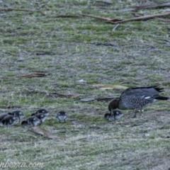 Chenonetta jubata (Australian Wood Duck) at Federal Golf Course - 30 Aug 2019 by BIrdsinCanberra