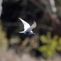 Chlidonias hybrida (Whiskered Tern) at Jerrabomberra Wetlands - 8 Sep 2019 by RodDeb