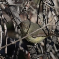Acanthiza reguloides (Buff-rumped Thornbill) at Mount Ainslie - 24 Aug 2019 by jbromilow50