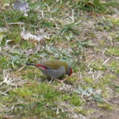 Neochmia temporalis (Red-browed Finch) at Isaacs Ridge and Nearby - 9 Sep 2017 by Mike