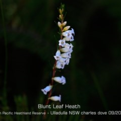 Epacris obtusifolia (Blunt-leaf Heath) at South Pacific Heathland Reserve - 28 Aug 2019 by Charles Dove