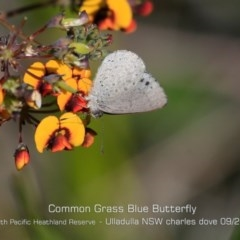 Zizina otis labradus (Common Grass-blue) at South Pacific Heathland Reserve - 28 Aug 2019 by Charles Dove