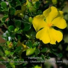 Hibbertia circumdans at South Pacific Heathland Reserve - 28 Aug 2019 by Charles Dove