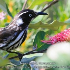 Phylidonyris novaehollandiae (New Holland Honeyeater) at South Pacific Heathland Reserve - 28 Aug 2019 by CharlesDove