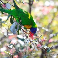 Trichoglossus haematodus (Rainbow Lorikeet) at South Pacific Heathland Reserve - 28 Aug 2019 by CharlesDove