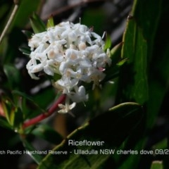 Pimelea linifolia subsp. linifolia (Rice-flower) at South Pacific Heathland Reserve - 28 Aug 2019 by Charles Dove