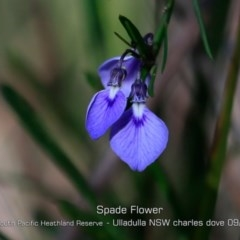 Hybanthus vernonii (Spade flower) at South Pacific Heathland Reserve - 28 Aug 2019 by Charles Dove