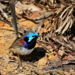 Malurus lamberti (Variegated Fairy-wren) at South Pacific Heathland Reserve - 28 Aug 2019 by CharlesDove