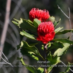 Telopea speciosissima (NSW Waratah) at South Pacific Heathland Reserve - 28 Aug 2019 by CharlesDove