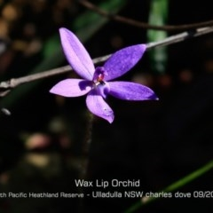 Glossodia minor (Small Wax-lip Orchid) at South Pacific Heathland Reserve - 28 Aug 2019 by CharlesDove