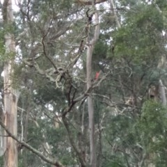 Alisterus scapularis (Australian King-Parrot) at East Kangaloon - 31 Aug 2019 by Echidna