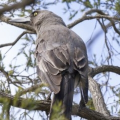 Strepera versicolor (Grey Currawong) at Higgins, ACT - 9 Sep 2019 by Alison Milton