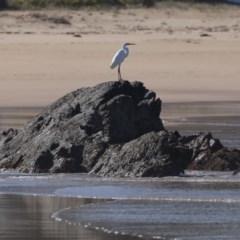 Ardea alba (Great Egret) at Batemans Marine Park - 1 Sep 2019 by jbromilow50