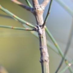Merimnetes sp. (genus) (A weevil) at Wamboin, NSW - 2 Nov 2018 by natureguy