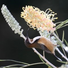 Acanthorhynchus tenuirostris (Eastern Spinebill) at Rosedale, NSW - 1 Sep 2019 by jbromilow50