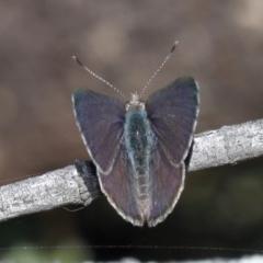 Zizina otis labradus (Common Grass-blue) at Guerilla Bay, NSW - 1 Sep 2019 by jbromilow50