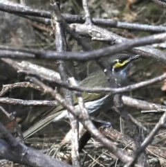 Caligavis chrysops (Yellow-faced Honeyeater) at Deua National Park - 2 Sep 2019 by jbromilow50