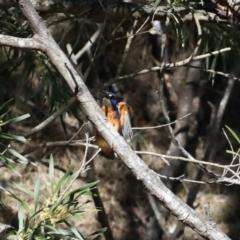 Ceyx azureus at Deua National Park - 2 Sep 2019