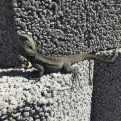 Intellagama lesueurii howittii (Gippsland Water Dragon) at Curtin, ACT - 10 Sep 2019 by Simmo