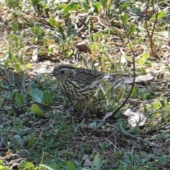 Pyrrholaemus sagittata (Speckled Warbler) at Red Hill Nature Reserve - 8 Sep 2019 by JackyF