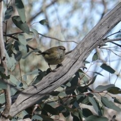 Acanthiza lineata (Striated Thornbill) at Red Hill Nature Reserve - 8 Sep 2019 by JackyF