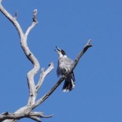 Cracticus torquatus (Grey Butcherbird) at Hughes Grassy Woodland - 7 Sep 2019 by JackyF