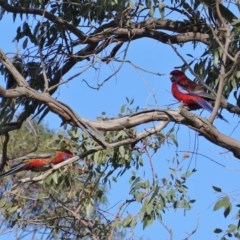 Platycercus elegans (Crimson Rosella) at Hughes Grassy Woodland - 9 Sep 2019 by JackyF