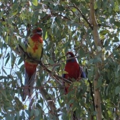 Platycercus eximius (Eastern Rosella) at Red Hill Nature Reserve - 10 Sep 2019 by JackyF