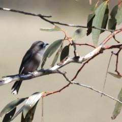 Artamus cyanopterus (Dusky Woodswallow) at Namadgi National Park - 4 Sep 2019 by jbromilow50