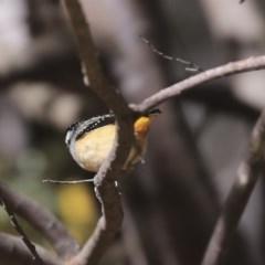 Pardalotus punctatus (Spotted Pardalote) at Bruce, ACT - 11 Sep 2019 by Alison Milton