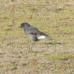 Strepera graculina (Pied Currawong) at Tidbinbilla Nature Reserve - 10 Sep 2019 by RodDeb