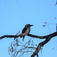 Dacelo novaeguineae (Laughing Kookaburra) at Mount Painter - 10 Sep 2019 by Tammy