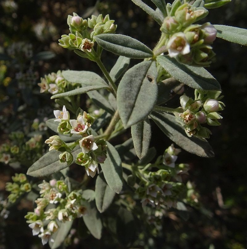 Zieria cytisoides at Brogo, NSW - 12 Sep 2019
