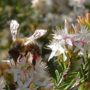 Apis (Apis) mellifera at Brogo, NSW - 12 Sep 2019
