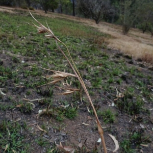 Themeda triandra at Brogo, NSW - 12 Sep 2019