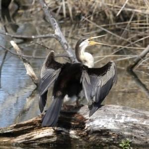 Anhinga novaehollandiae at Jerrabomberra Wetlands - 10 Sep 2019