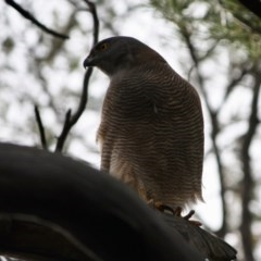 Accipiter fasciatus (Brown Goshawk) at Red Hill Nature Reserve - 12 Sep 2019 by LisaH