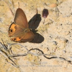Hypocysta metirius (Brown Ringlet) at Wairo Beach and Dolphin Point - 6 Sep 2019 by Charles Dove