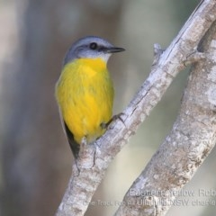 Eopsaltria australis (Eastern Yellow Robin) at One Track For All - 6 Sep 2019 by CharlesDove