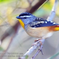 Pardalotus punctatus (Spotted Pardalote) at Garrad Reserve Walking Track - 6 Sep 2019 by Charles Dove