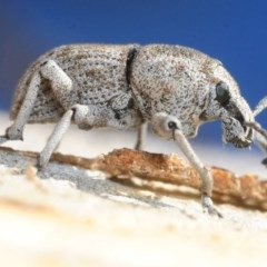Polyphrades paganus (A weevil) at Black Mountain - 2 Sep 2019 by Harrisi