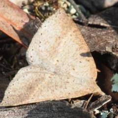 Epidesmia (genus) (Epidesmia moth) at Black Mountain - 2 Sep 2019 by Harrisi