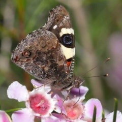 Vanessa itea (Yellow Admiral) at ANBG - 10 Sep 2019 by TimL