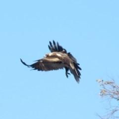 Aquila audax (Wedge-tailed Eagle) at Namadgi National Park - 13 Sep 2019 by KumikoCallaway
